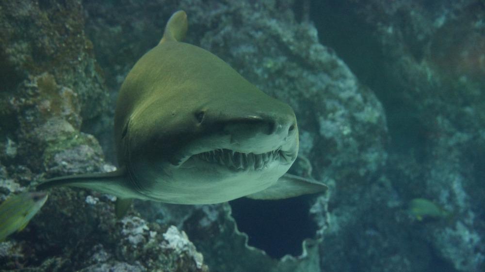 shark-426566_1920